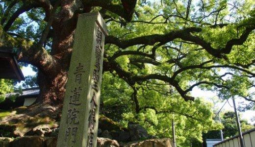 樹齢800年の大楠が見守る青蓮院門跡