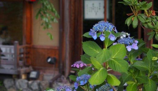 祇園白川の紫陽花が見頃です