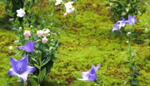 東福寺天得院にて、桔梗を愛でる静かな時間