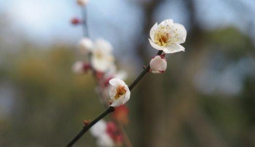 京都御苑の梅と桃の花が見頃です*