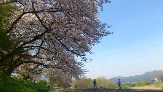 2013年4月の桂川沿い。桜満開!