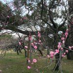 京都御苑梅4