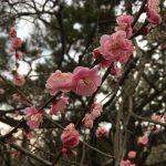 京都御苑梅5