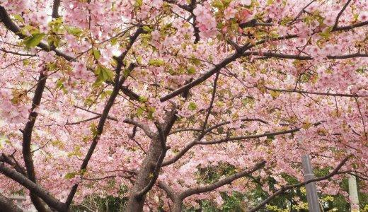 桜が待ち遠しいこの季節!早咲きの桜をご紹介
