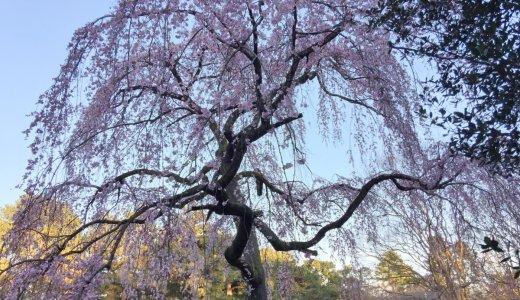 [2020年3月15日現在]京都の桜情報