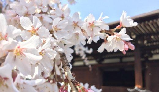 [2020年3月22日現在]京都の桜情報