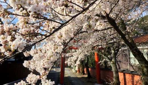 [2020年3月29日更新]京都の桜情報