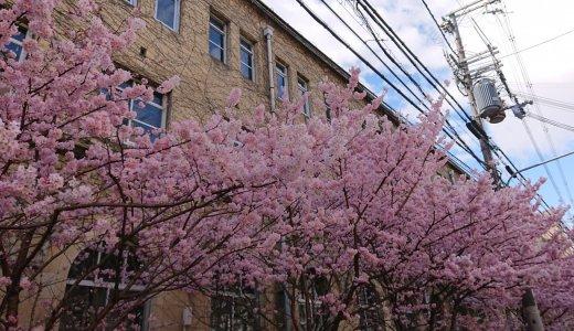 早咲きの桜が満開! 旧京都市立成徳中学校