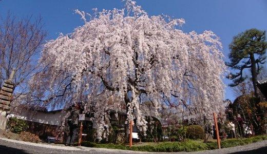 【2020年3月25日現在】枝垂桜が満開!