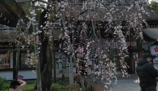 今年も桜募金へ行ってきました!:平野神社