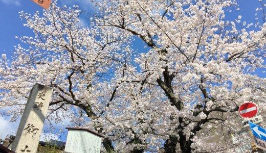 [2020年4月7日更新]京都の桜情報