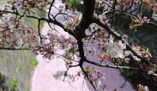 [2020年4月14日更新]京都の桜情報