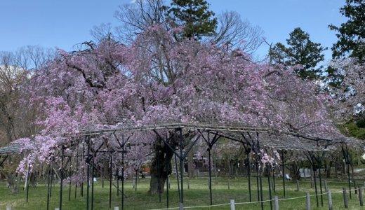 上賀茂神社の「斎王桜」が満開です!!