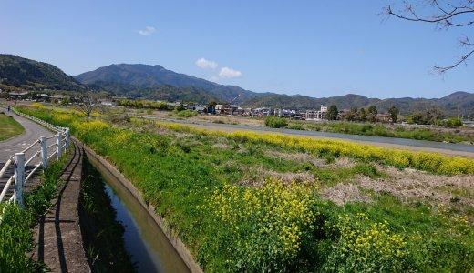 【桂川】菜の花
