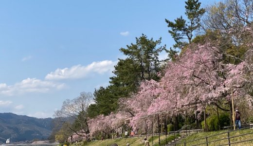 京都の桜シーズンはまだまだ続きます