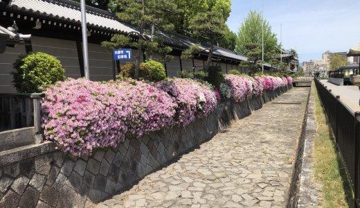 西本願寺前のツツジが満開です!!